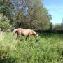 Débourrage – cheval au travail